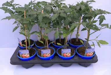 Profi-Line Tomaten T12