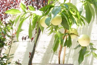 Prunus persica var. nucipersica Fruit Me Icepeach