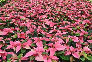 Poinsettia Premium Lipstick Pink