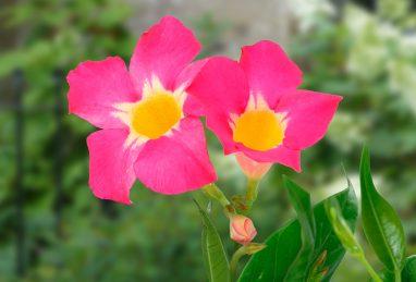 Mandevilla Diamantina Quartz Pink & Yellow