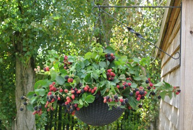 Rubus fruticosus Black Cascade