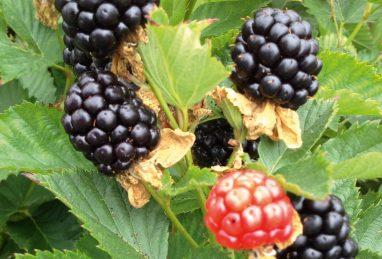Rubus fruticosus Coolaris Cascata Black