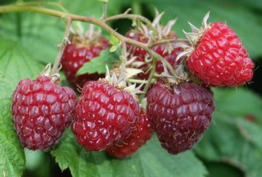 Rubus idaeus Summer Lovers Early