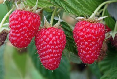 Rubus idaeus Summer Lovers Garden Red