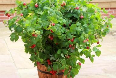 Rubus idaeus Ruby Beauty