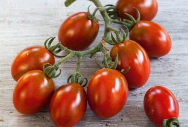 Pflaumencherry-Tomate Mirado Choco
