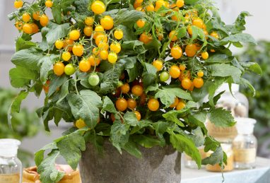 Solanum lycopersicum Strongboy Yellow F1