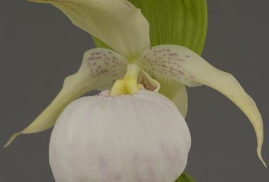 Cypripedium Sabine Light