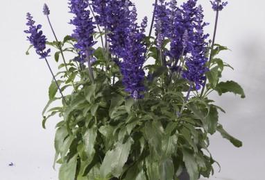 Salvia farinacea Farina Blue