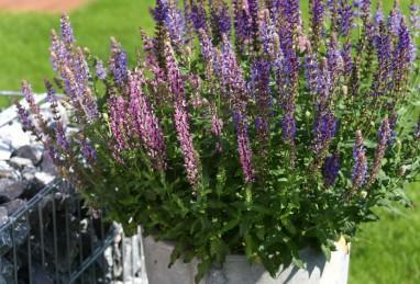 Salvia nemorosa Salute-Serie – Confetti Garden mit Stauden!