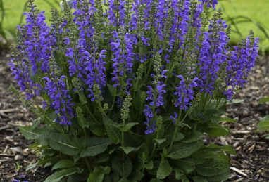 Salvia pratensis Midnight Model