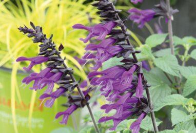 Salvia x hybrida Amistad