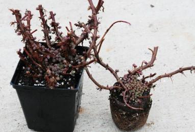 Sedum SunSparkler Firecracker als überwinterte Pflanze