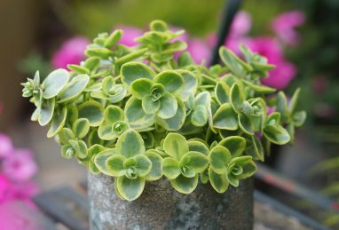 Sedum Sunsparkler Lime Twister