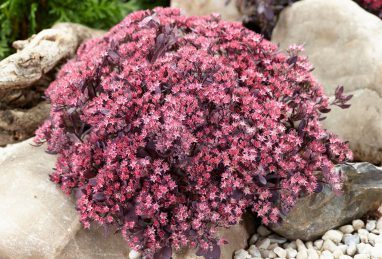Sedum Sunsparkler Plum Dazzled