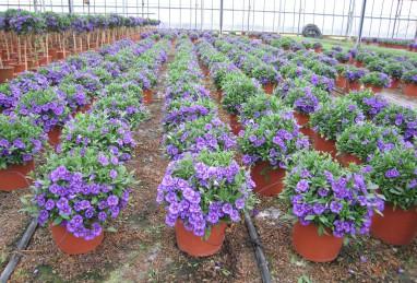 Solanum Büsche und Stämme
