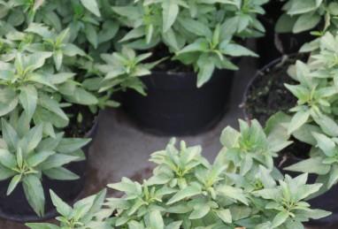 Solanum Busch T20