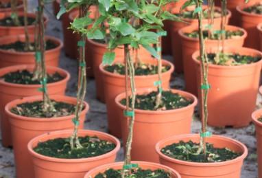 Solanum Stämme T24