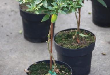 Solanum Stämme T20