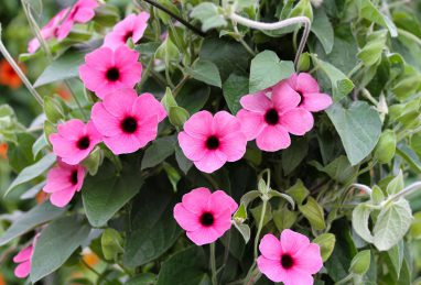 Thunbergia alata Arizona Rose Sensation