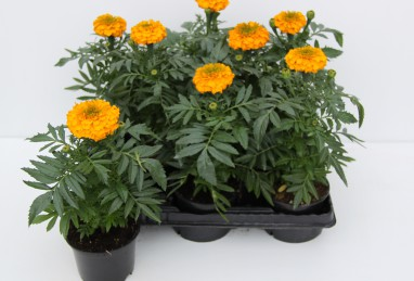 Tagetes FW T9
