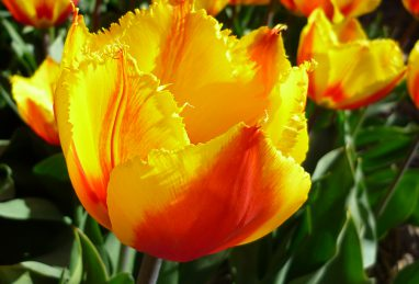 Tulpe Flair Fringed
