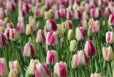 Tulipa Just Kissed