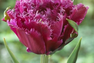 Tulpe Mascotte