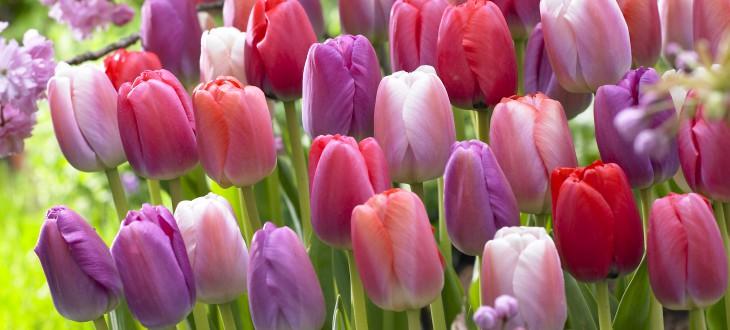 Kein Frühling ohne Tulpen!                                                   Tulpe Big Pride Mischung