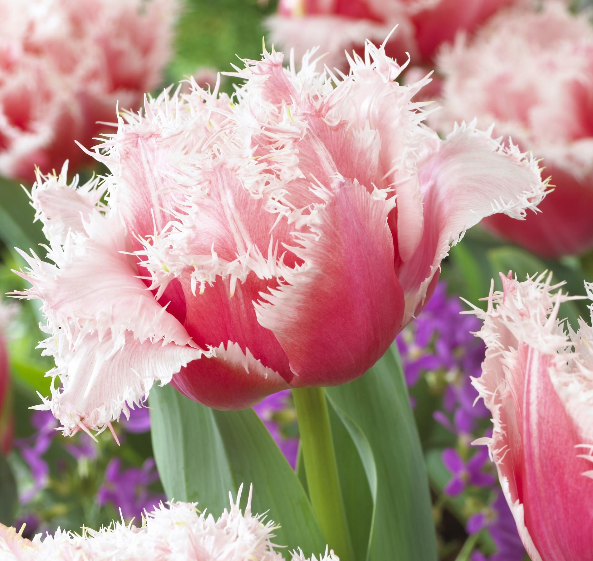 Tulipa-Queensland_visi43523-e1398273700411-1900x1795.jpg
