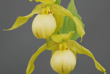 Cypripedium Ursel