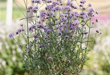 Verbena bonariensis Royal Dreams
