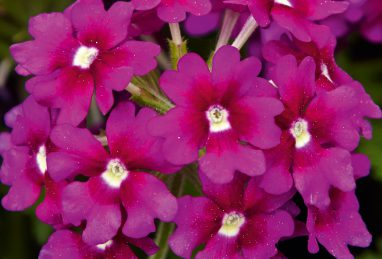 Verbena x peruviana Samira Purple Eye