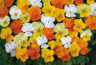 Viola Twix F1 Citrus Mix