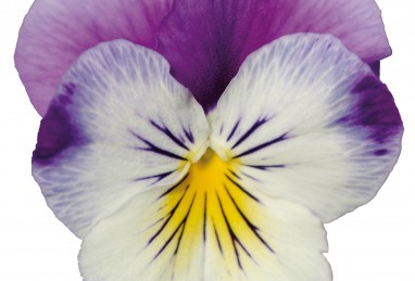 Viola Volante F1 Purple Face