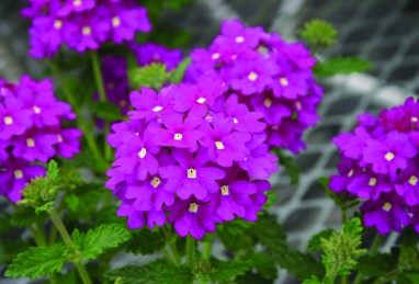 Verbena x peruviana Samira Purple