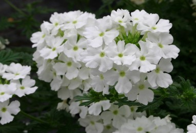 Verbena x peruviana Vectura White