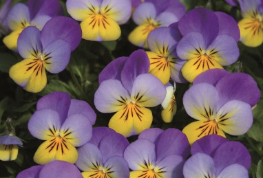 Viola Ice Babies F1 Blue with Yellow