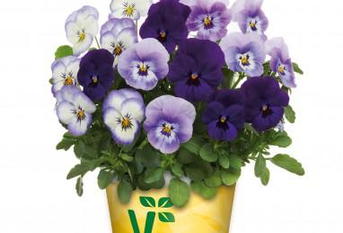 Viola Mix a Twix F1