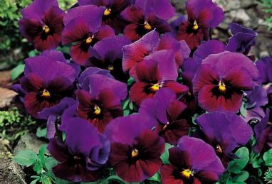 Viola cornuta Twix F1 Special Bronze Blue