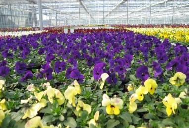 Viola cornuta T9 FW