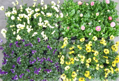 Viola cornuta T9 und Bellis T9