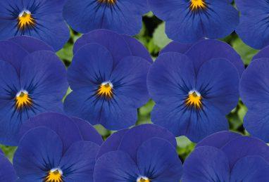 Viola Twixini F1 Blue