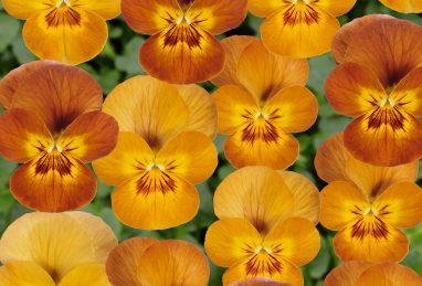 Viola cornuta Twixini F1-Serie