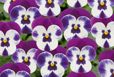 Viola Twixini F1 Purple Face