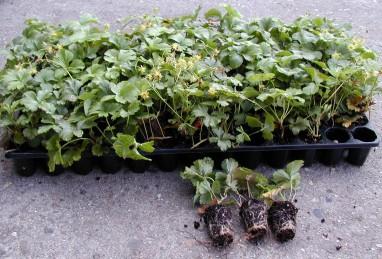 Staudenjungpflanzen in der 104er-Platte