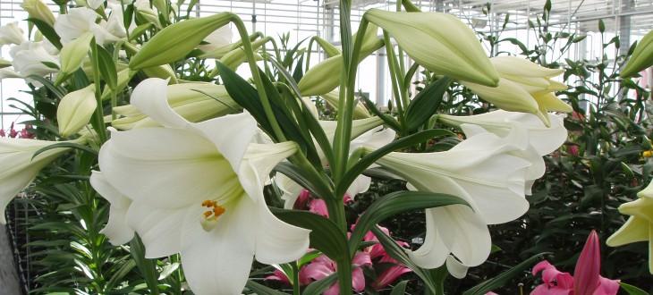 Lilium longiflorum White Walhalla