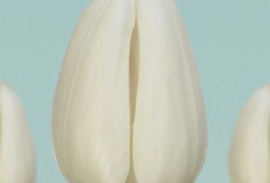 Tulpe White Master