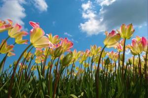 Anbau von Blumenzwiebeln