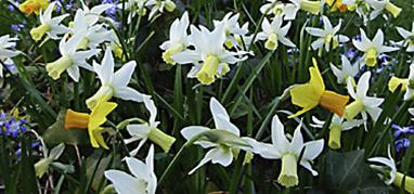 Galerie Blumenzwiebeln, Frühjahrsblüher